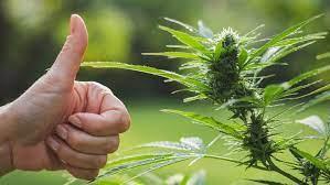A New Perspective on Medical Marijuana